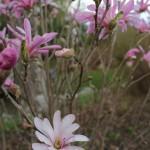 Magnolia Leonard Messel (1)