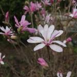 Magnolia Leonard Messel (8)
