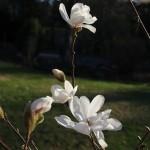 Magnolia Loebneri Merrill (1)