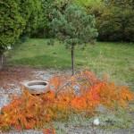 Japansk fliklönn och dvärgtall på stam