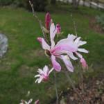 Magnolia Leonard Messel (12)