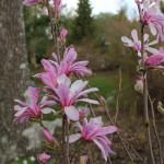 Magnolia Leonard Messel (13)
