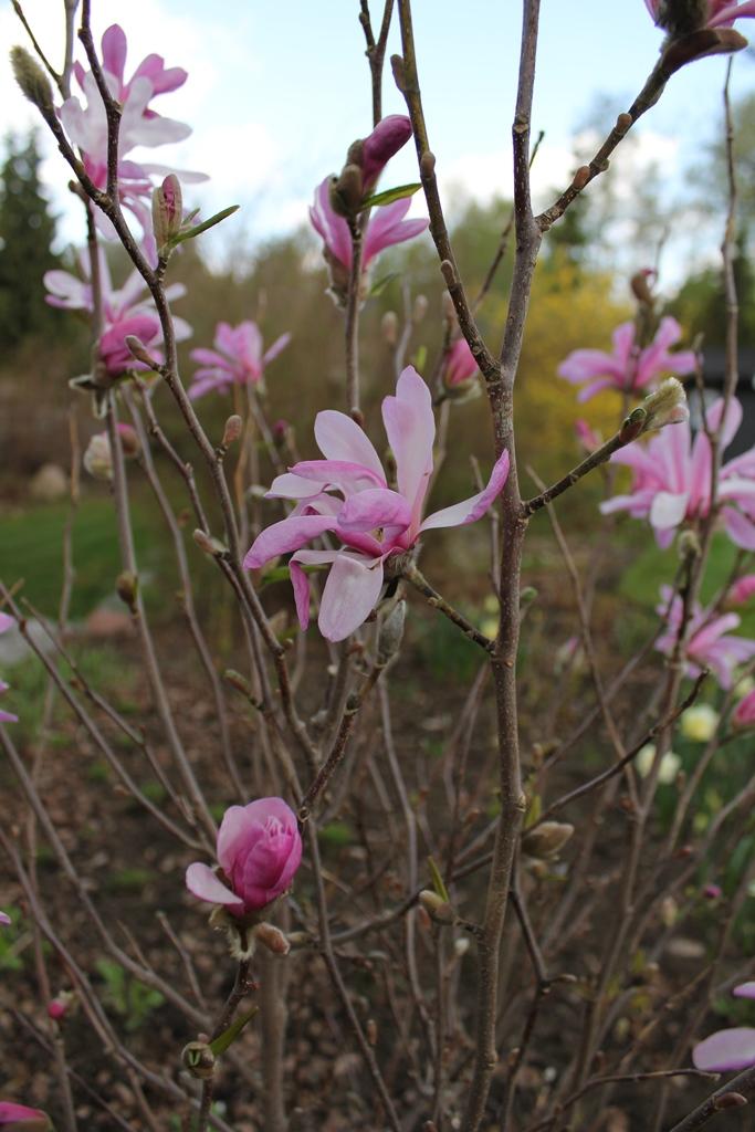 Magnolia Leonard Messel (14)