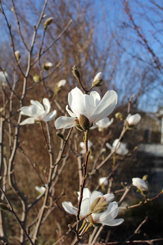 Magnolia Loebneri Merrill (3)